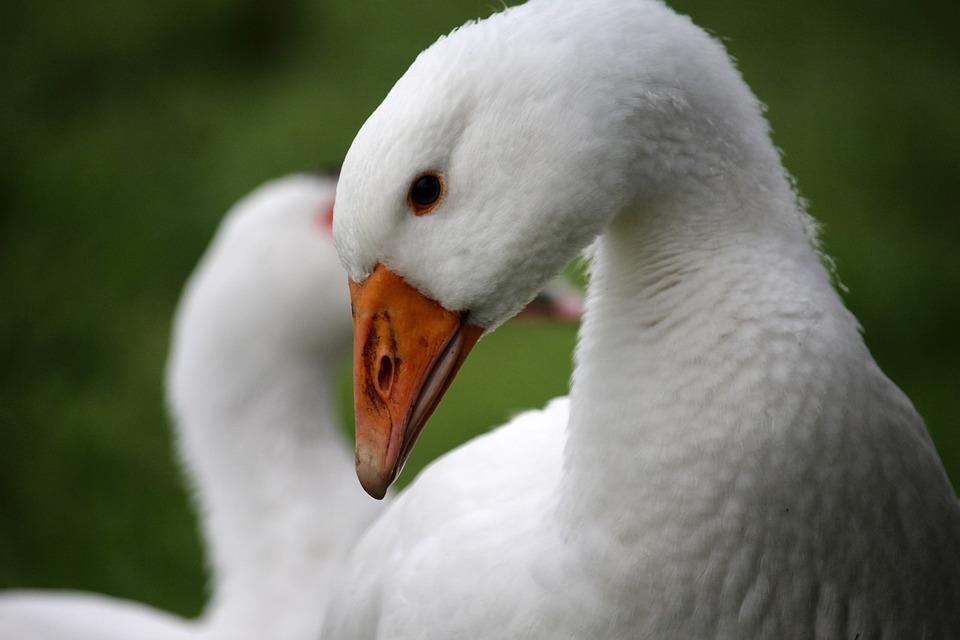 Goose, White, Head, Meadow, Bio, Grass, Detail