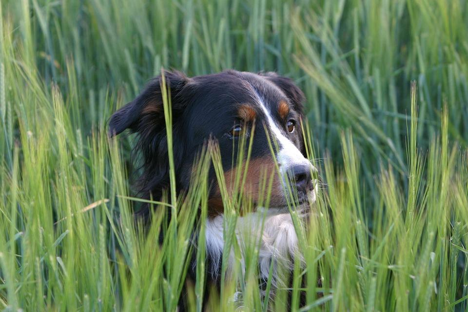 Dog, Berner Sennen Dog, Meadow, Portrait