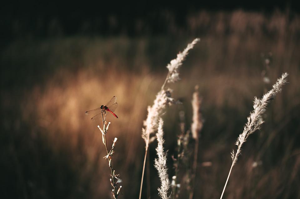 Dragonfly, Insect, Grass, Plant, Meadow, Field, Nature