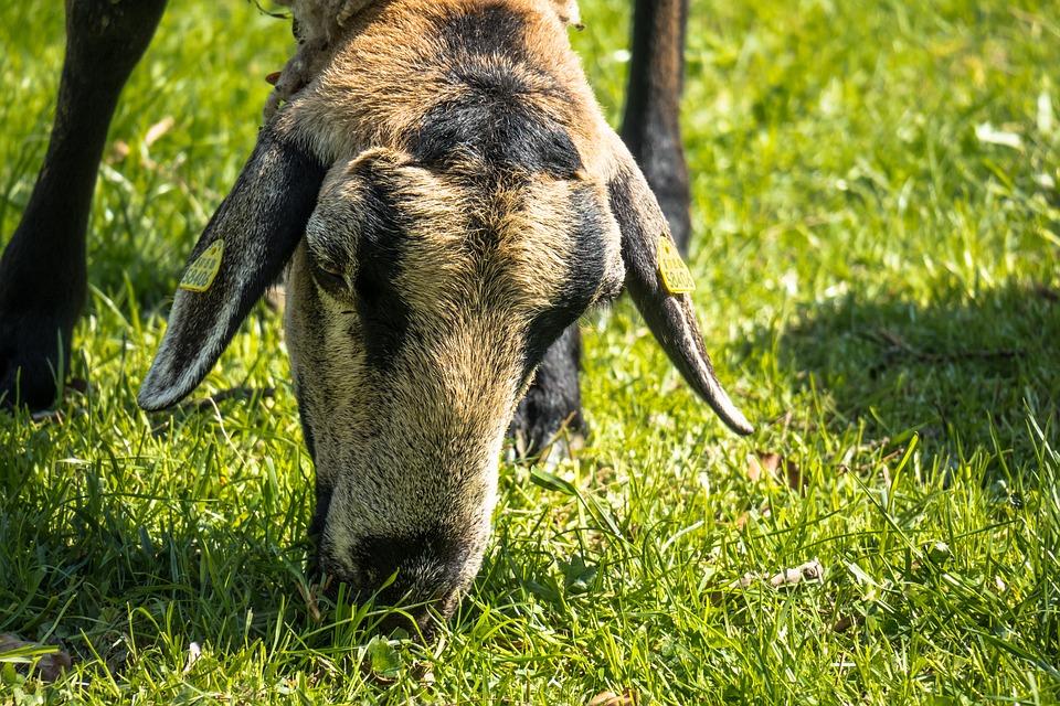 Sheep, Graze, Eat, Meadow, Grass, Pasture, Farm