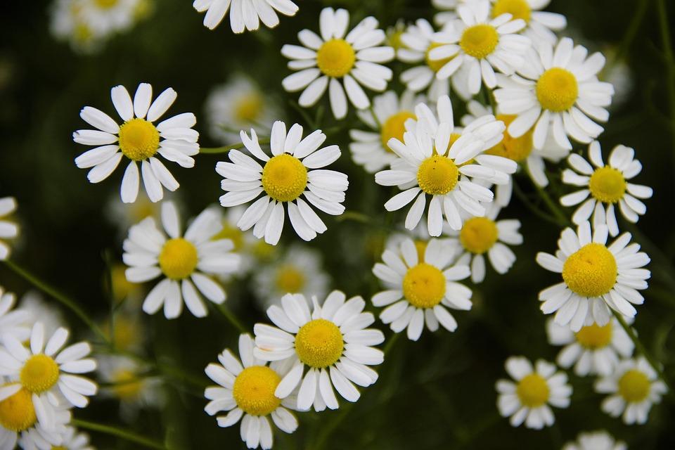 Chamomile, Field, Flowers, Daisy, Summer, Meadow