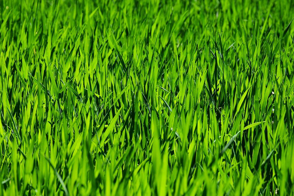 Grass, Field, Meadow, Rush, Growth, Plant, Nature