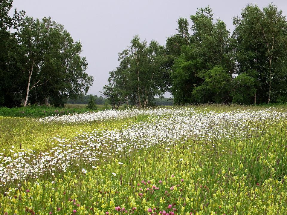 Field, Meadow, Glade, Flowers, Chamomile, Summer
