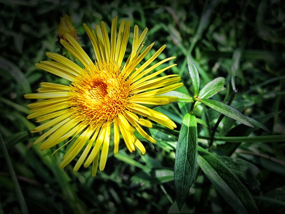 Meadow Fleabane, Flower, Nature, Outside, Macro