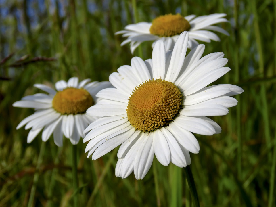 Daisy, Flower, Plant, Nature, Meadow, White, Summer
