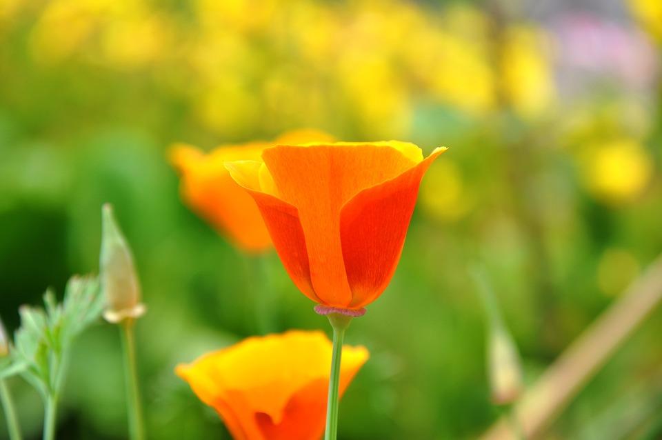 Poppy, Wildflower, Meadow Flower
