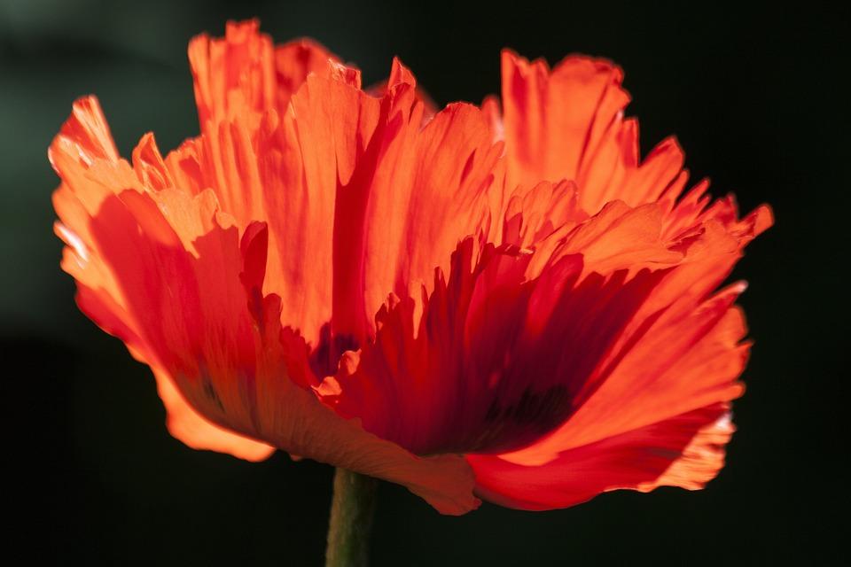 Poppy, Flower, Meadow, Red Poppy, Red Flower