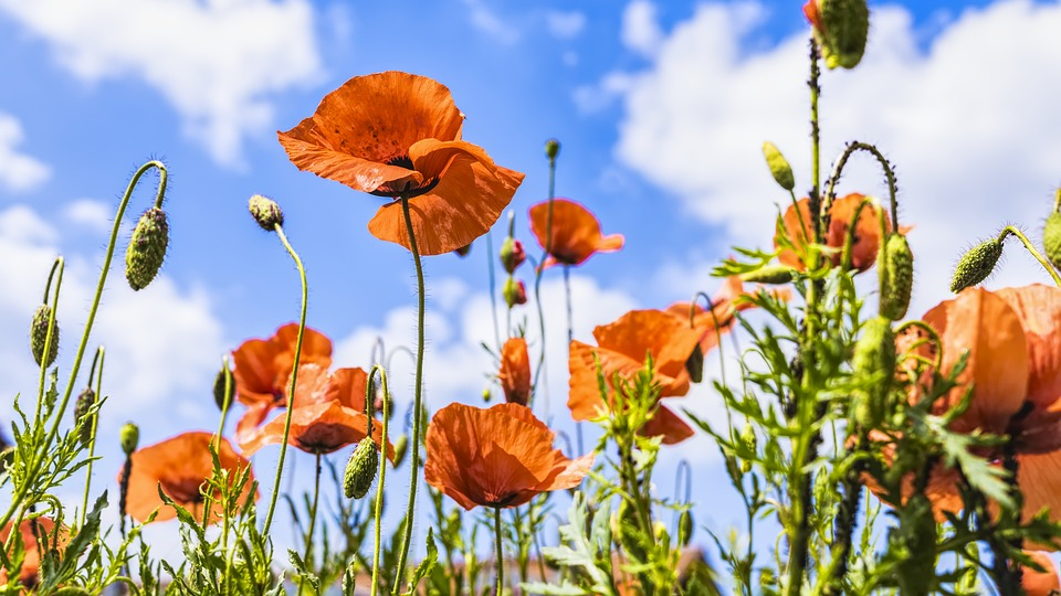 Poppies, Meadow, Summer, Nature, Red, Flower