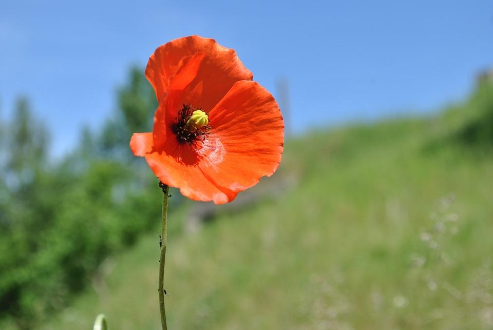 Poppy, Blossom, Bloom, Meadow, Flowers