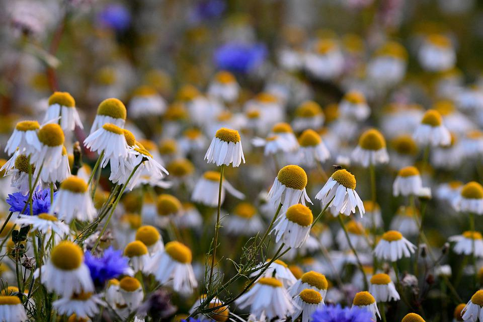 Chamomile, Petals, Flowers, Meadow, Nature, Flora