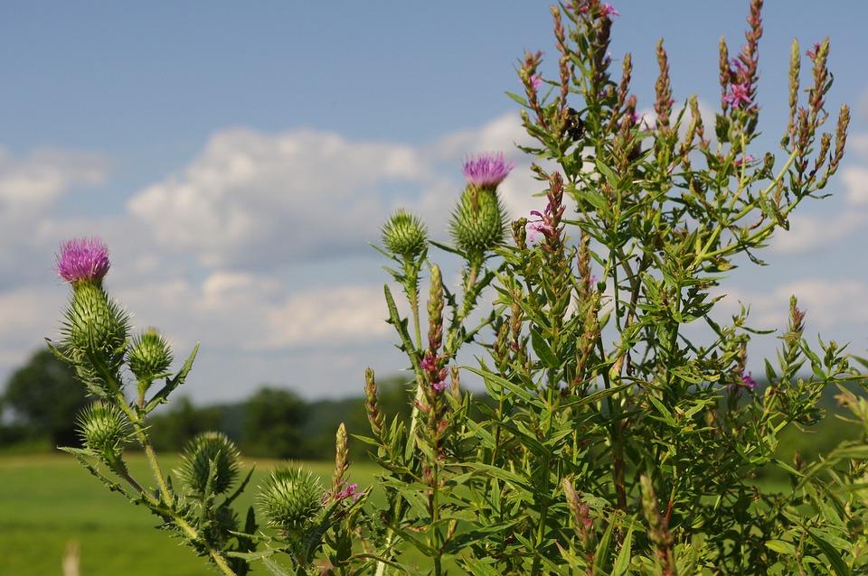 Thistle, Purple, Flowers, Meadow, Purple Flowers