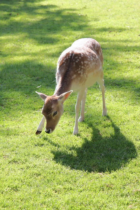 Roe Deer, Pasture, Meadow, Forest, Animal, Graze, Food