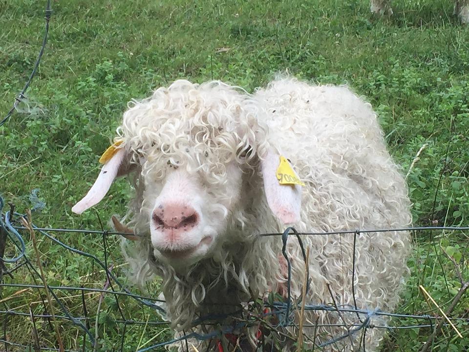 Sheep, Meadow, France