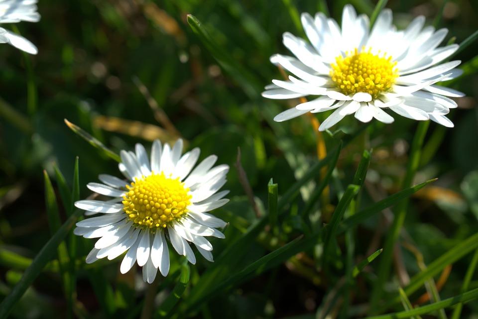 Daisy, Easter, Garden, Meadow, Spring, Summer, Plant