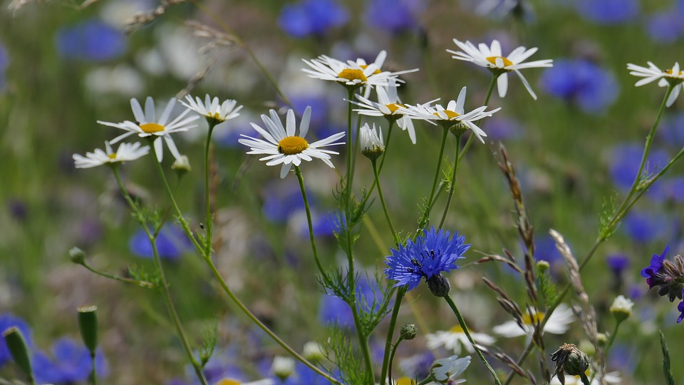 Chamomile, Cornflower, Wild Grasses, Meadow, Grass
