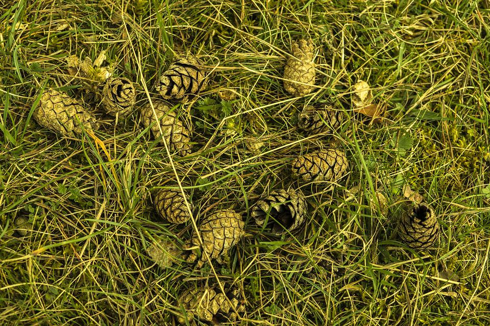 Pine Cones, Meadow, Grass, Nature, Green, Grasses