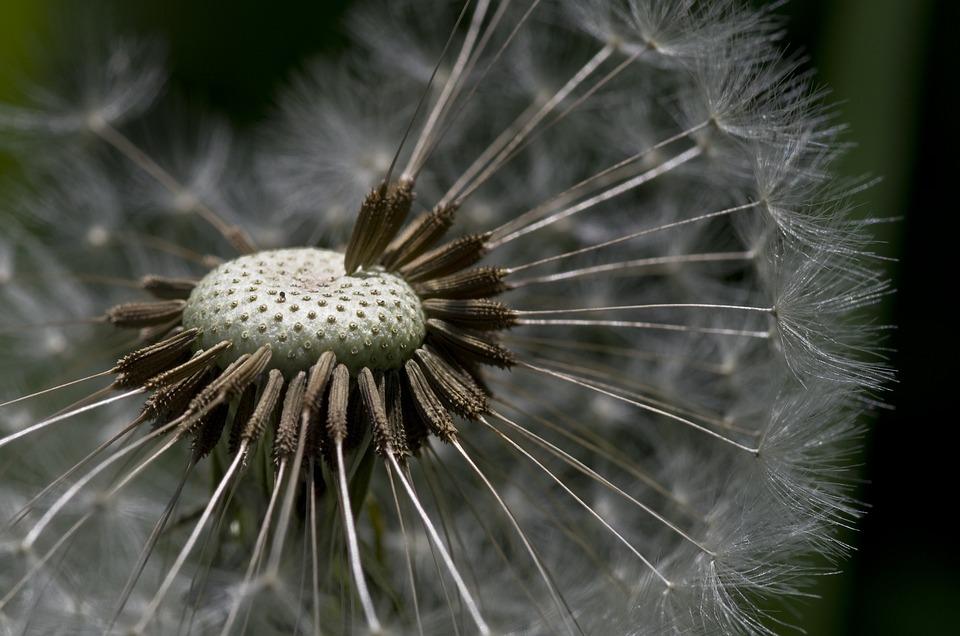 Dandelion, Flower Meadow, Meadow, Grass, Spring