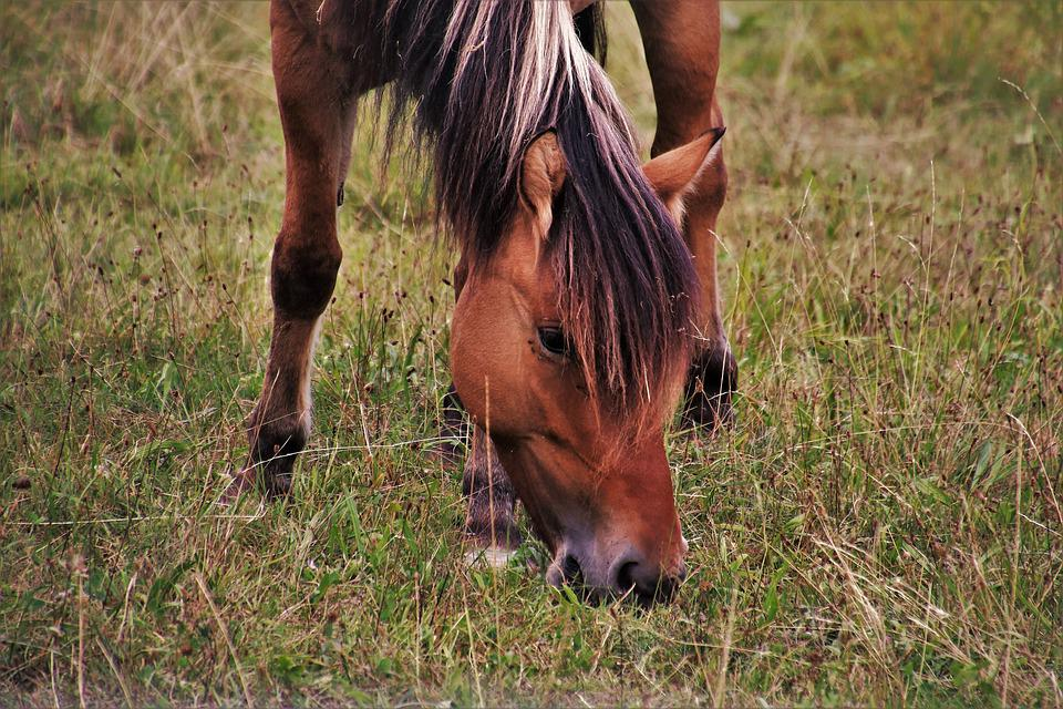 The Mane, The Horse, Meadow, Pasture Land, Grass, Mare