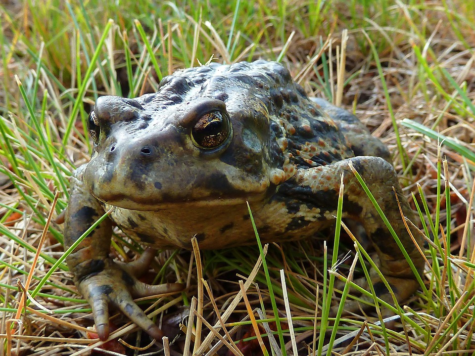Toad, Amphibian, Animal, Nature, Meadow, Grass
