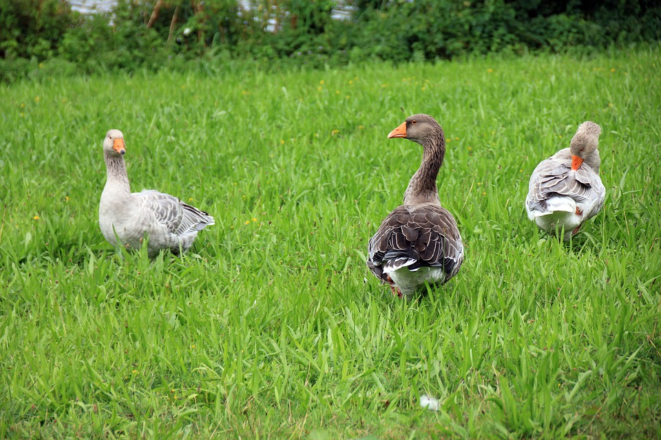 Animal, Goose, Geese, Meadow, Green, Bird, Poultry