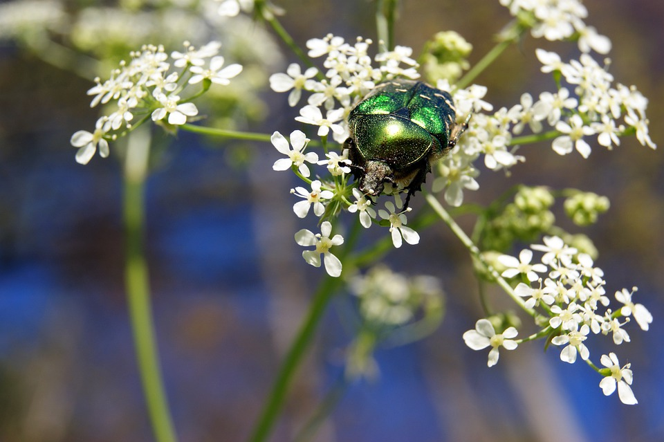 Rose Beetle, Insect, Flower, Meadow, Nature, Green