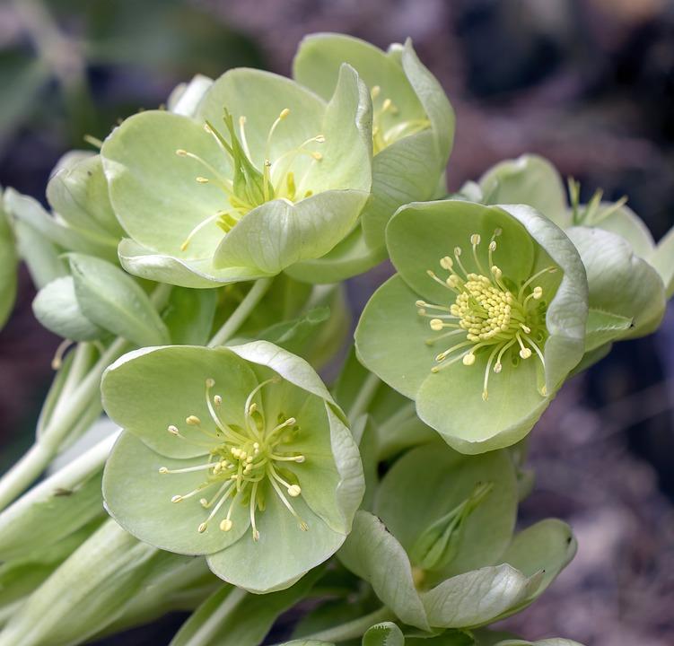 Green Hellebore, Wildflower, Green, Meadow, Spring