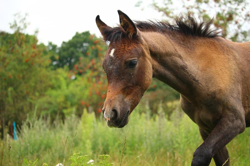Horse, Foal, Thoroughbred Arabian, Brown Mold, Meadow