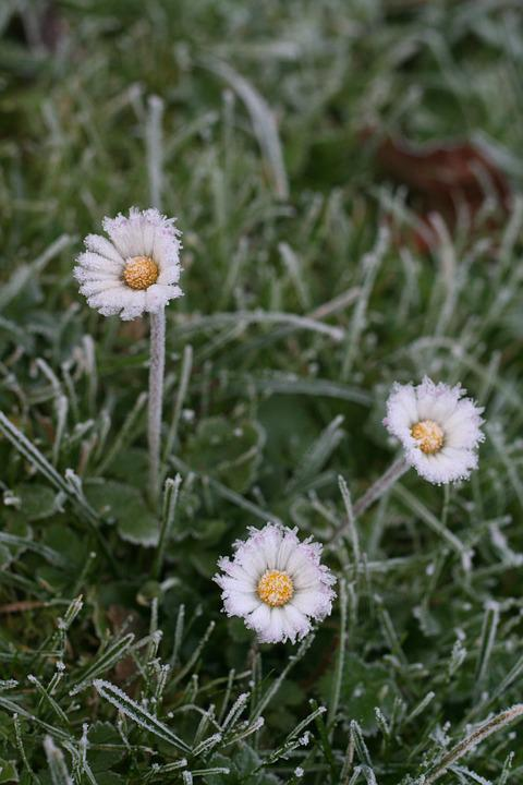 Daisy, Ice, Cold, Icy, Frozen, Meadow, Blades Of Grass