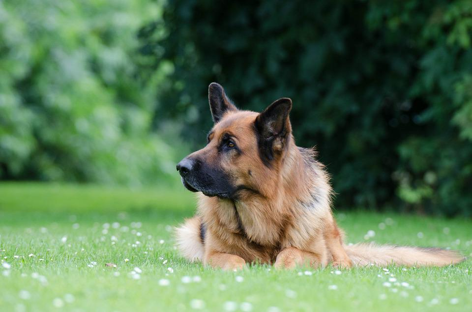 German Shepherd, Black Brown, Lying, Meadow, Summer