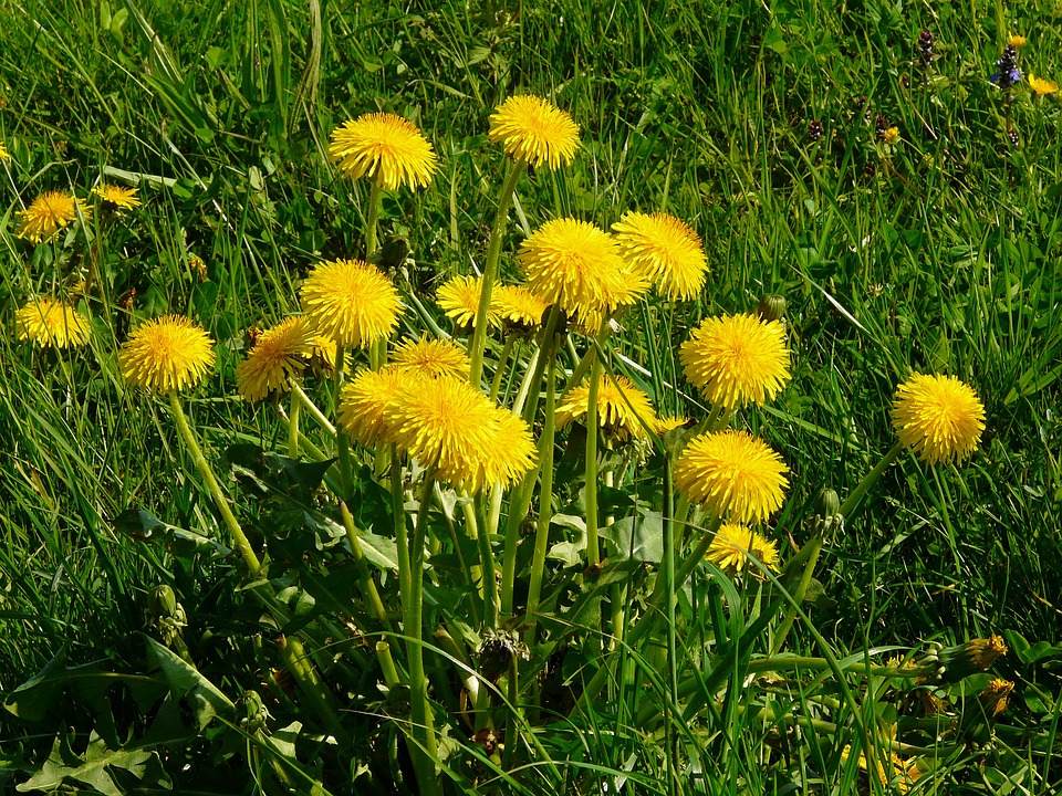 Dandelion, Meadow, Grass, Pointed Flower, Nature