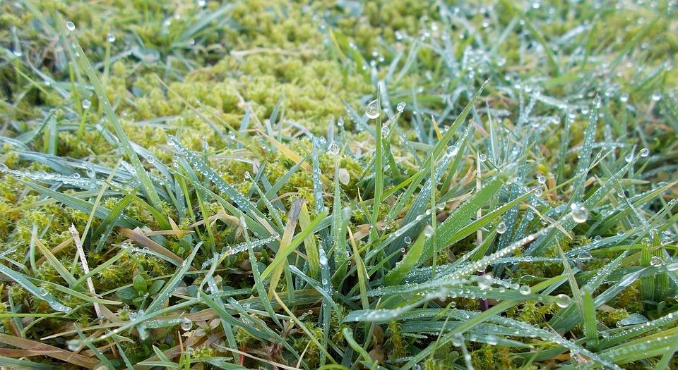 Snow Tau, Green Grass, Meadow, Nature, Close