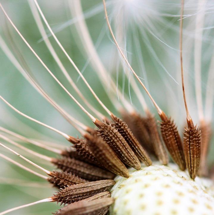 Nuns, Dandelion, Flowers, Meadow, Wind, Seeds