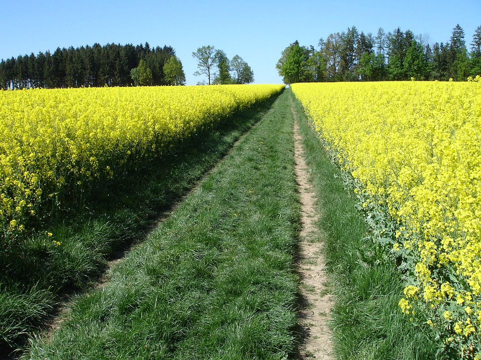 Meadow, Oilseed Rape, Field Of Rapeseeds, Nature