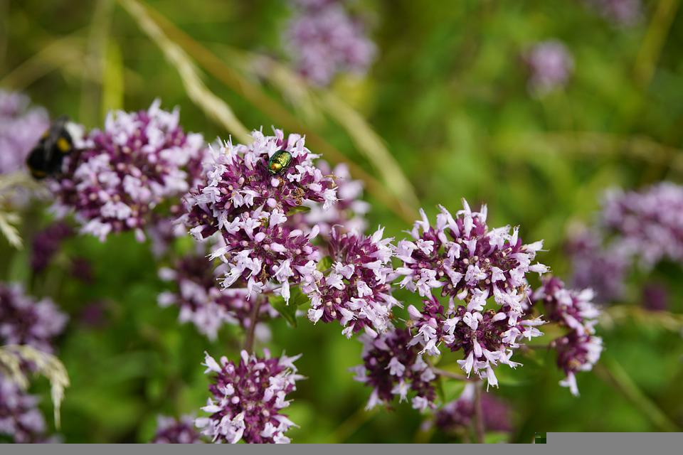 Oregano, Flowers, Wildflowers, Meadow, Summer, Insect