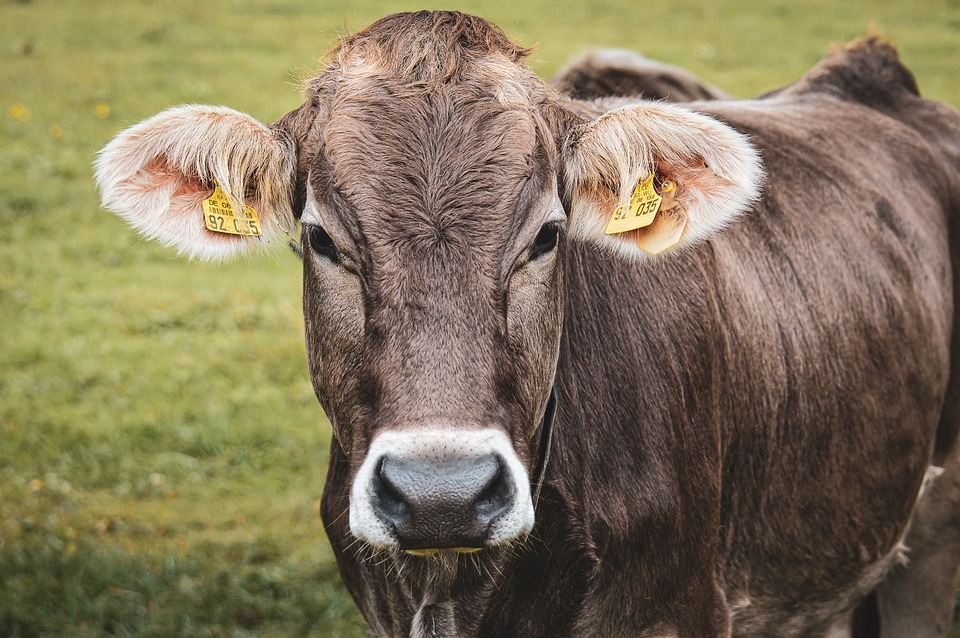 Cows, Dairy Cattle, Pasture, Animal, Cattle, Meadow