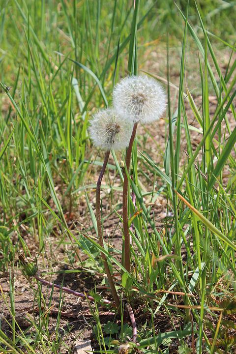 Dandelion, Nature, Meadow, Plant, Field