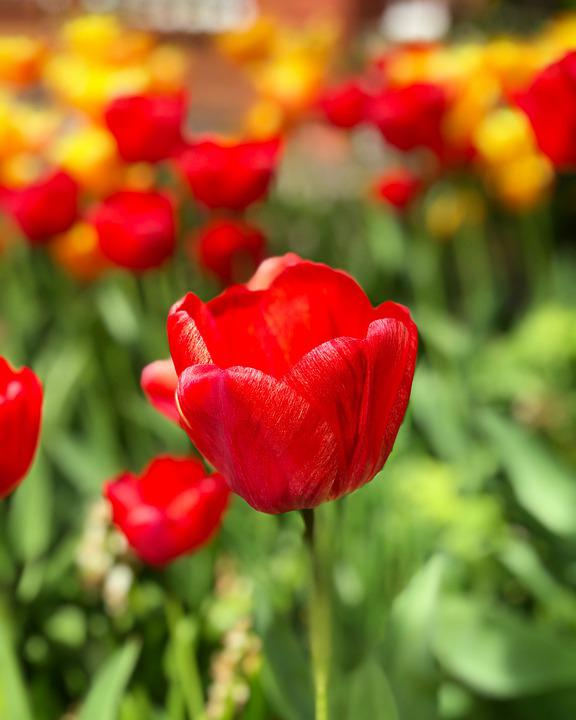 Tulip, Flower, Meadow, Plant, Red Tulip, Red Flower