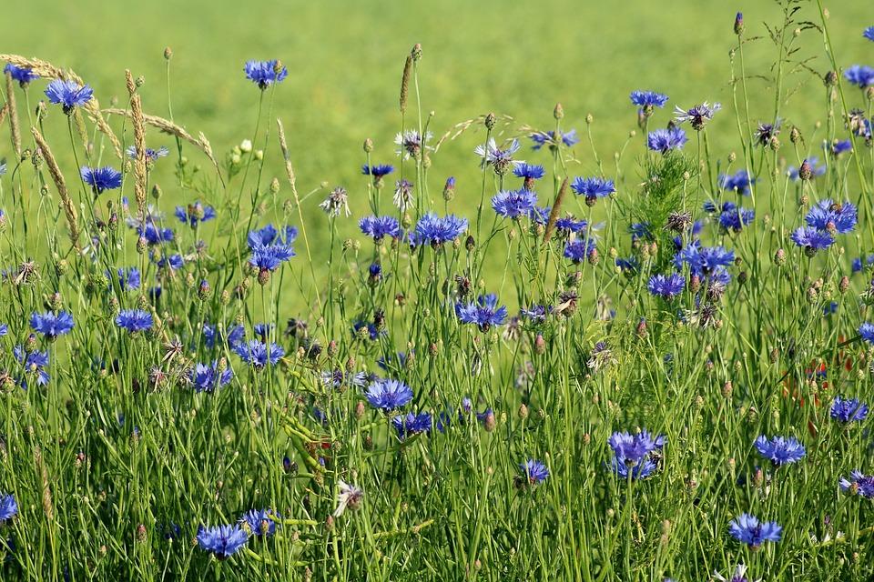 Cornflowers, Wildflowers, Blue, Meadow, Plants, Flowers