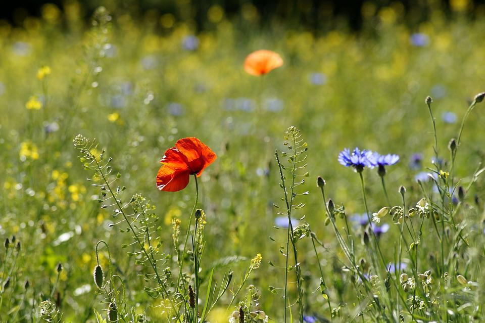 Meadow, Flower Meadow, Summer, Flowers, Poppy
