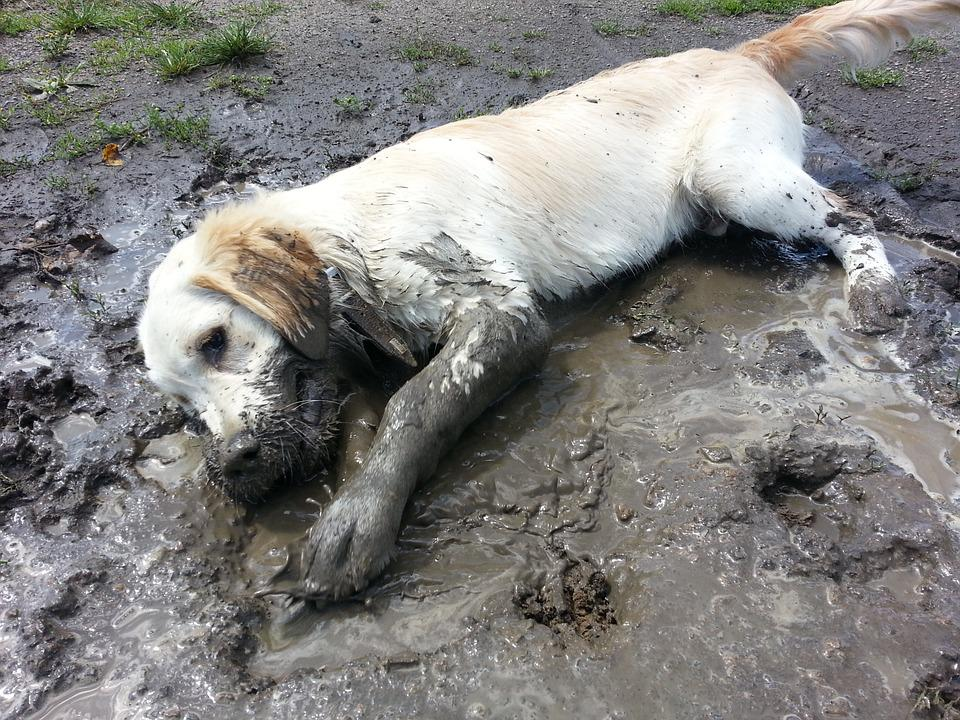 Golden Retriever, Plays, Purebred Dog, Meadow, Kennels
