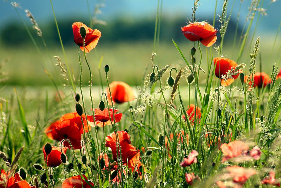 Poppies, Red, Wildflowers, In The Sun, Meadow, Summer