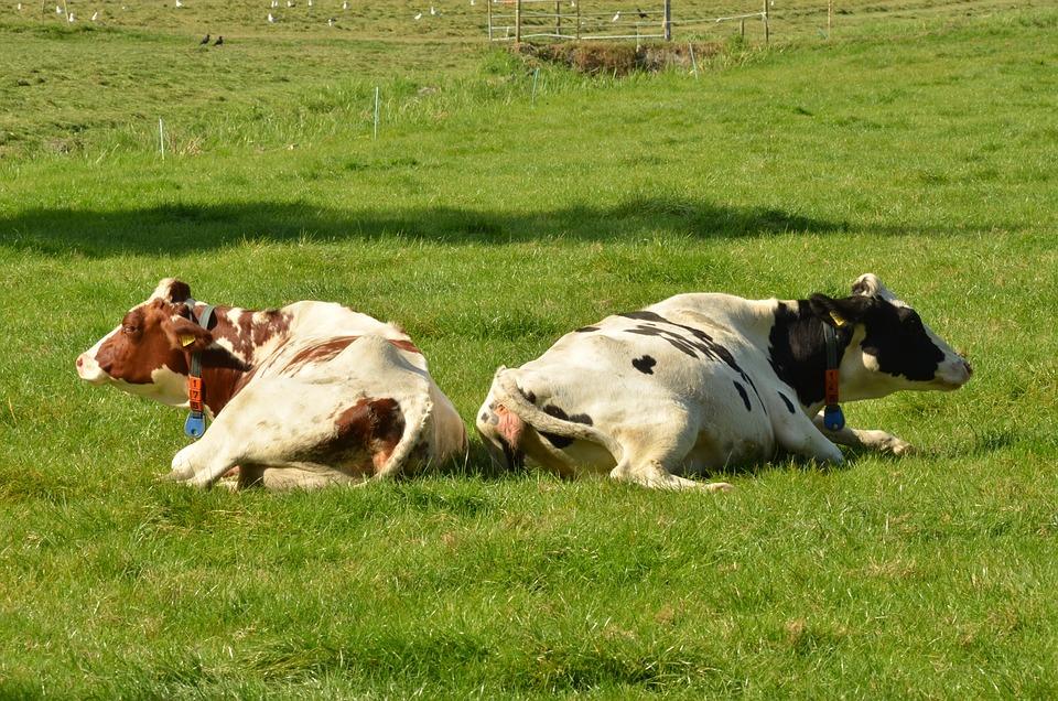Cow, Mammal, Farm, Farm Animal, Meadow, Roan, Black Fur