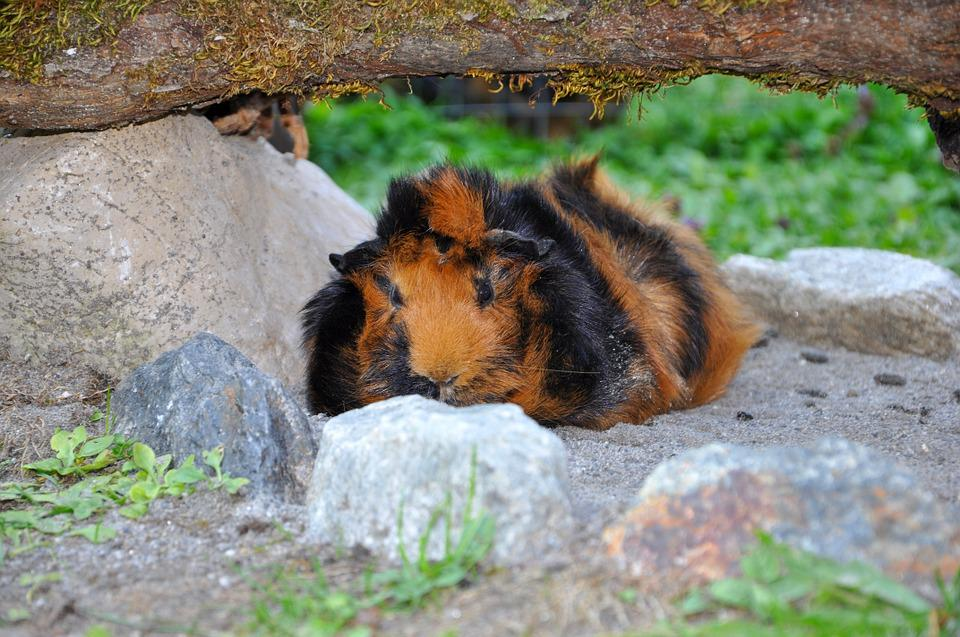 Guinea Pig, Animal, Rodent, Nager, Meadow, Rosette