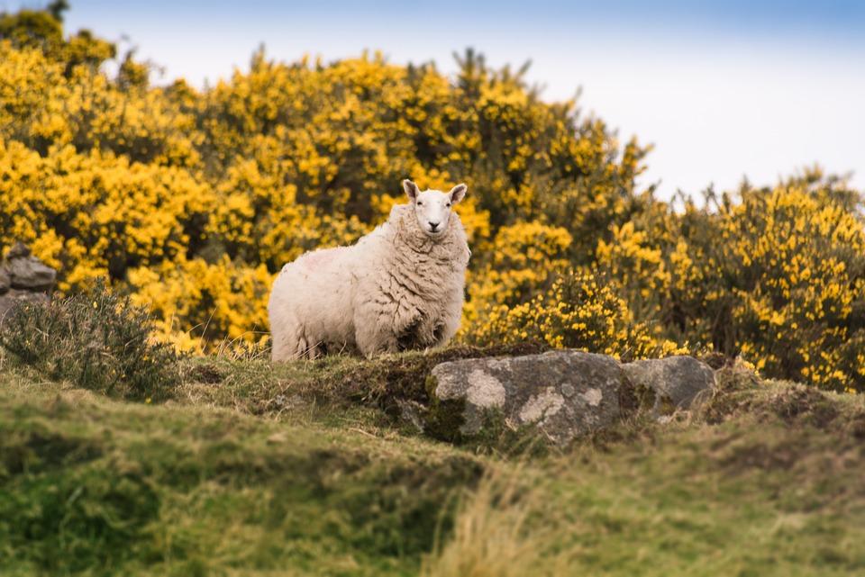Sheep, Animal, Wool, Nature, Mammal, Meadow