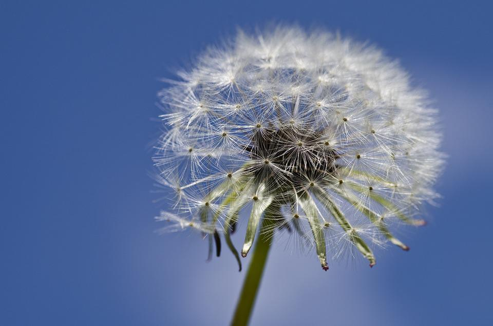 Dandelion, Close Up, Spring, Nature, Flower, Meadow