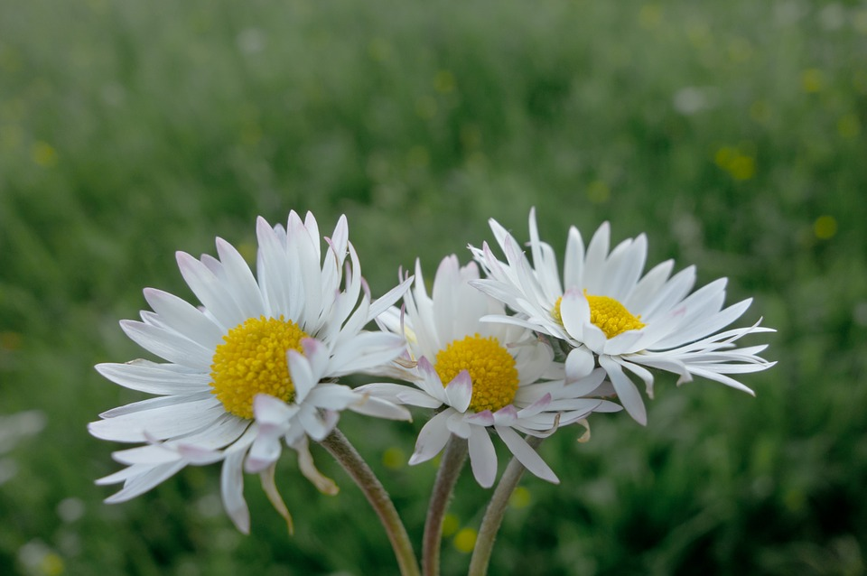 Daisy, Flowers, Meadow, Spring, Daisies, Flower Meadow