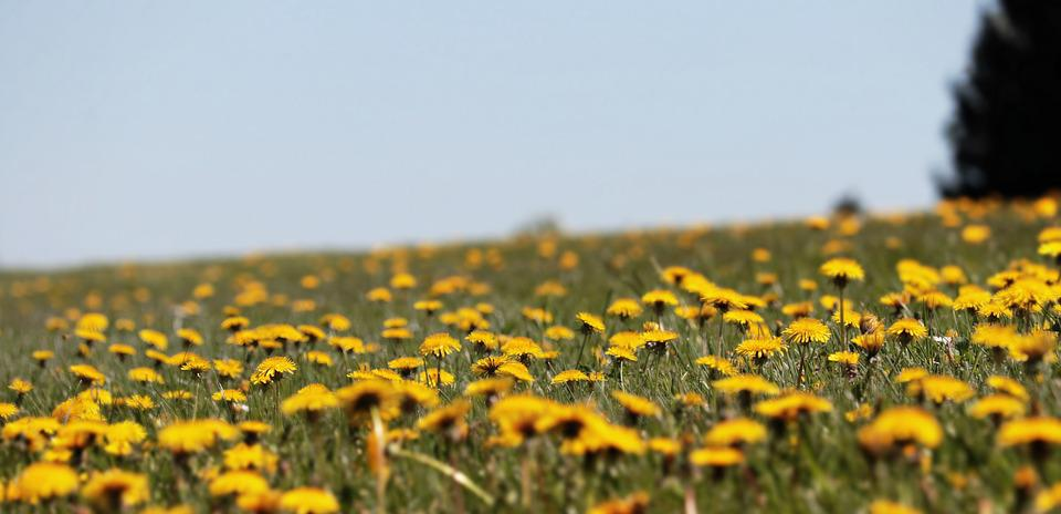 Dandelion, Meadow, Spring, Yellow, Common Dandelion