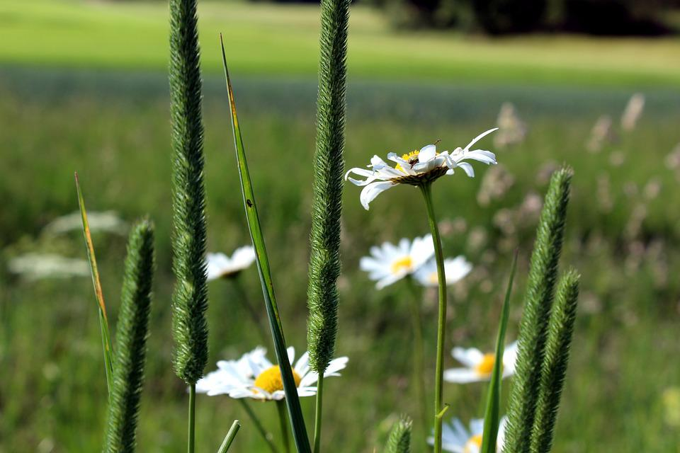 Spring, Meadow, Flower, Daisy, Nature, Wildflowers