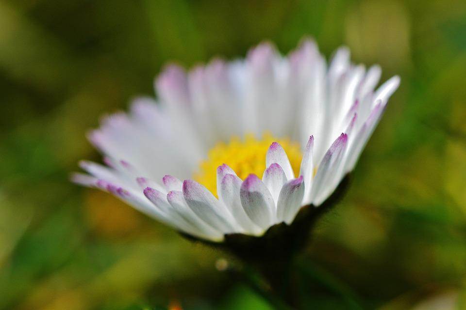 Daisy, Flower, Meadow, Dreamy, Pointed Flower, Spring