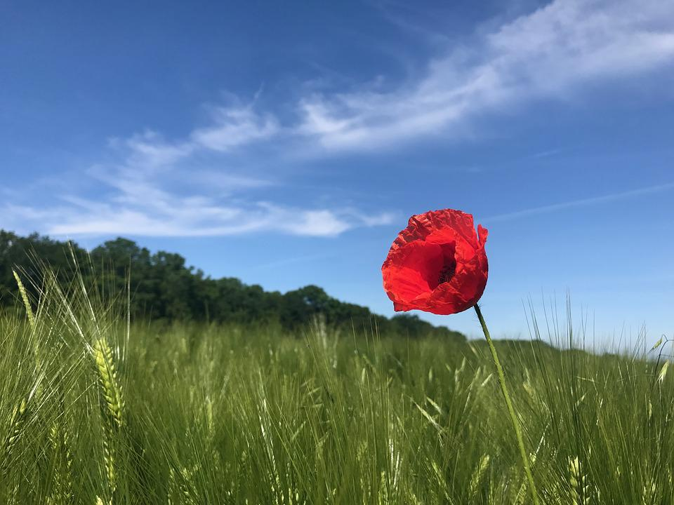 Poppy, Field, Nature, Summer, Meadow, Flowers